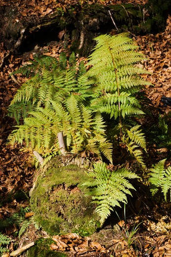 Fern in the the forest, Bavarian Forest National Park, Bavaria, Germany, Europe : Stock Photo