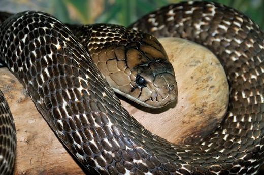 Stock Photo: 4261-8938 Naja naja, Indian Cobra