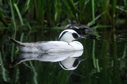 Mergus albellus, Smew male : Stock Photo