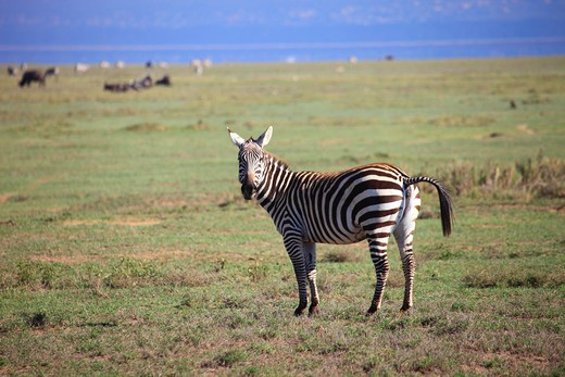 Stock Photo: 4261-92990 Common zebra, Nakuru National Park,Kenya,Africa