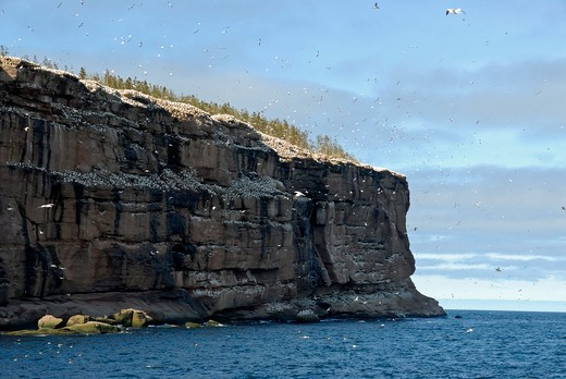 Northern Gannet's nests, Morus bassanus, Bonaventure Island, Percé, Gaspé peninsula, Quebec, Canada, North America : Stock Photo