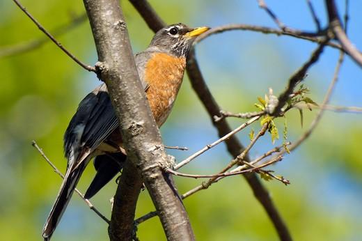 Turdus migratorius, Lake Ontario, Ontario, Canada, North America : Stock Photo