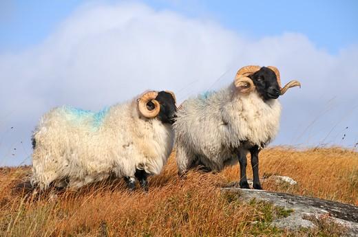 Blackface sheep, Connemara, County Galway, Connacht, Republic of Ireland, Europe : Stock Photo