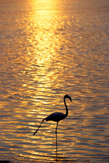 Stock Photo: 4261-99875 Flamingo, Italy