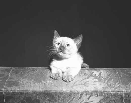 Stock Photo: 4267R-3667 Kitten looking up, (B&W)