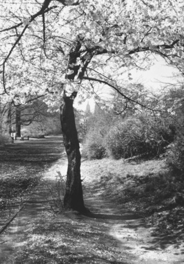 Stock Photo: 4267R-3921 Blooming trees, (B&W),