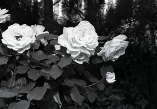 Stock Photo: 4267R-4244 White rose