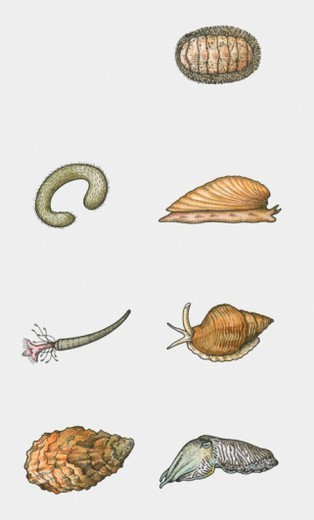 Stock Photo: 4268R-10081 Illustration of various types of mollusc