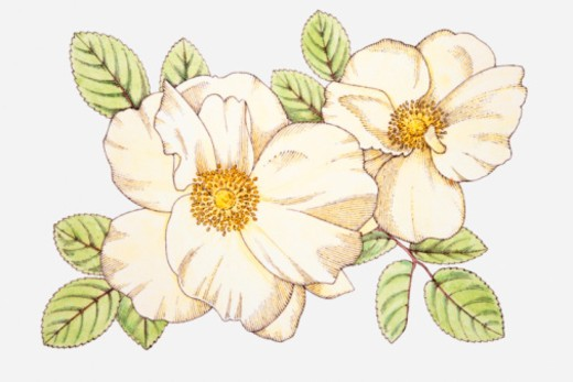 Stock Photo: 4268R-1018 Illustration of Rosa 'Nevada' with white flowers, yellow stamen, and green leaves