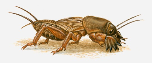 Illustration of Mole Cricket (Mole Cricket) : Stock Photo