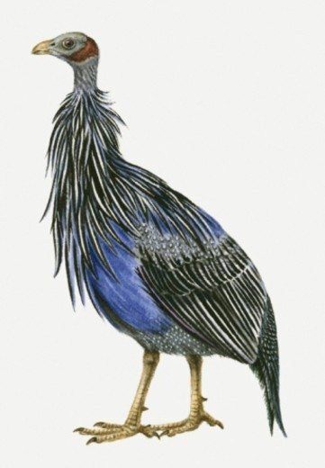 Illustration of a Vulturine guineafowl (Acryllium vulturinum), side view : Stock Photo
