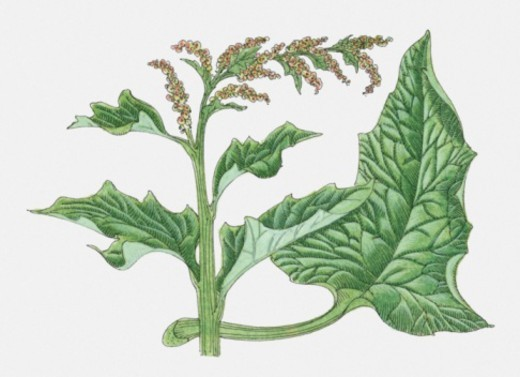 Illustration of Chenopodium sp. (Goosefoot), flower head and leaves : Stock Photo