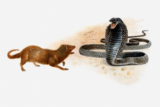 Illustration of a Spitting cobra (Naja sp.) squirting jets of poison towards a small mammal : Stock Photo