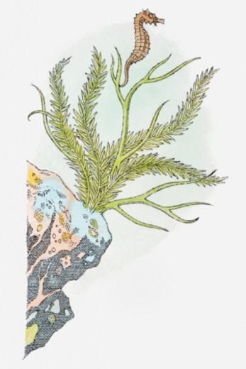 Illustration of Seahorse (Hippocampus) swimming near aquatic plant attached to rock : Stock Photo