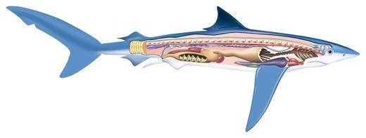 Cross-section diagram of a shark, a cartilaginous fish, illustrating spine and internal organs, side view. : Stock Photo