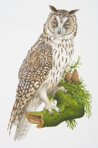Asio otus, Long-eared Owl perched on a tree branch. : Stock Photo