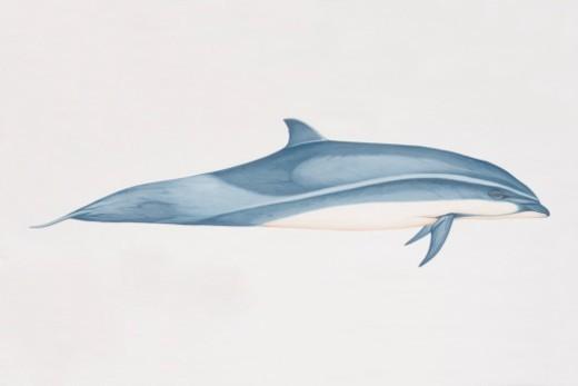 Stock Photo: 4268R-11955 Lagenodelphis hosei, Fraser's Dolphin, side view.