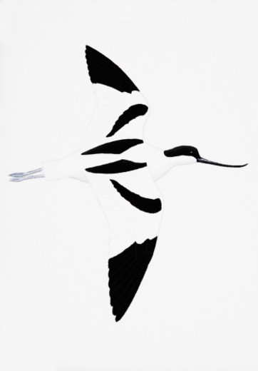 Avocet (Recurvirostra avosetta), adult : Stock Photo