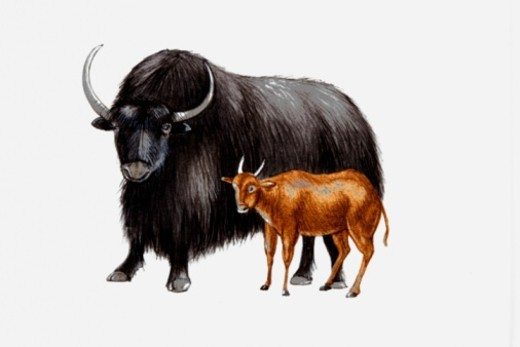 Illustration of a Yak (Bos grunniens) and Mountain anoa (Bubalus quarlesi) : Stock Photo