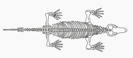 Black and white illustration Procynosuchus skeleton : Stock Photo