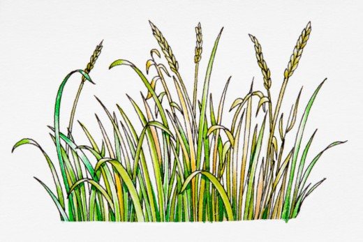 Stock Photo: 4268R-13894 Cereal plants