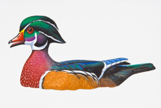 Digital illustration of Wood Duck or Carolina Duck (Aix sponsa), drake showing multi-coloured feathers : Stock Photo