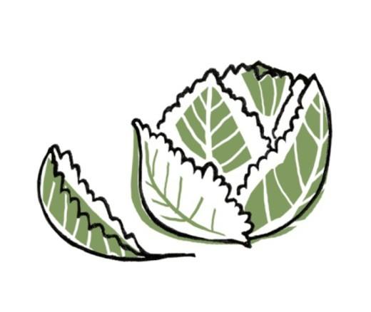 Digital illustration of Brassica Oleracea (Savoy Cabbage) : Stock Photo