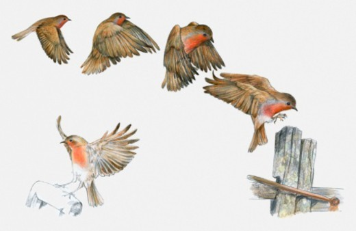 Sequence of illustrations of Robin (Erithacus rubecula melophilus) flying and preparing to land on wooden post and spade handle : Stock Photo