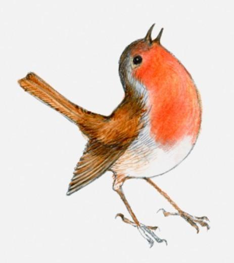 Stock Photo: 4268R-15609 Illustration of Robin (Erithacus rubecula melophilus),singing