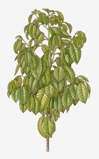 Stock Photo: 4268R-15693 Illustration of Coffea with abundance of green leaves