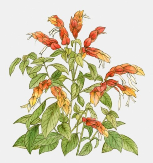 Illustration of Justicia brandegeeana (Shrimp plant), yellow-red flower bracts and green leaves : Stock Photo