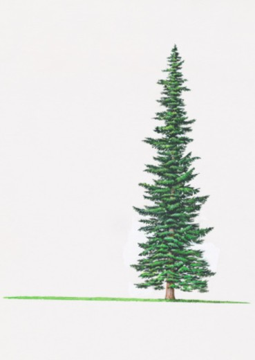 Illustration of Abies lasiocarpa (Subalpine Fir) fir tree : Stock Photo