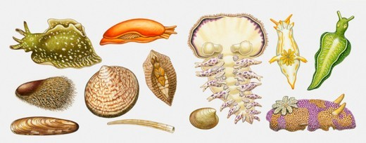 Stock Photo: 4268R-1737 Illustration of Sea Hare, Sea Cucumber, Cockles and Mussels