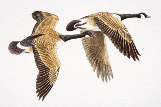 Two Canada Geese, Branta canadensis, flying. : Stock Photo