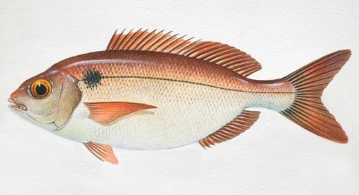 Red Seabream, Pagellus bogaraveo, side view. : Stock Photo