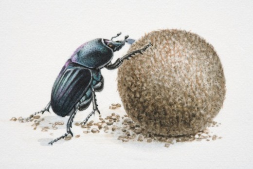 Artwork of a dung beetle, rolling dung. : Stock Photo