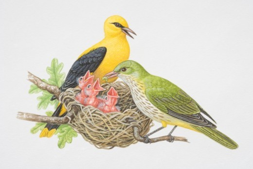 Oriolus oriolus, Golden Orioles, male and female feeding their chicks in the nest. : Stock Photo