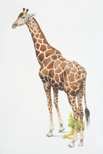 Stock Photo: 4268R-2013 Giraffa camelopardalis, Giraffe, side view.