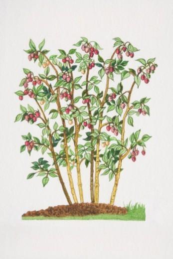 Stock Photo: 4268R-2054 Rubus idaeus, Raspberry shrub.