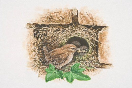 Winter Wren (Troglodytes troglodytes), illustration of tiny brown bird feeding chicks in nest in between bricks. : Stock Photo