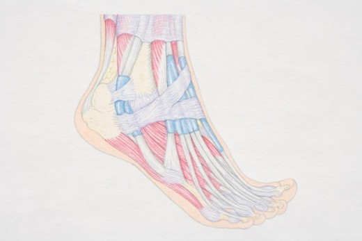 Cross-section diagram of human foot, side view. : Stock Photo