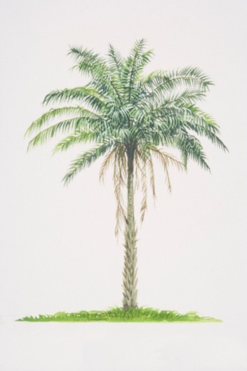 Stock Photo: 4268R-2176 Elaeis guineensis, African Oil Palm tree.