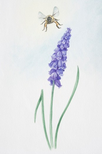 Illustration, bell-shaped purple flowers of Muscari sp., Grape Hyacinth, on single stem. : Stock Photo