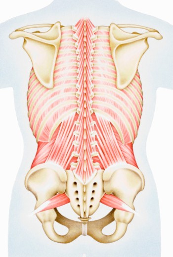 Human thorax, shoulder girdle, and pelvis posterior view : Stock Photo