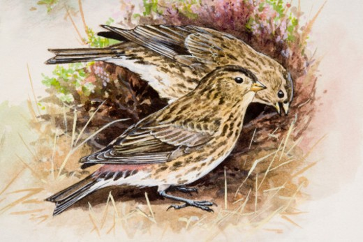 Stock Photo: 4268R-4031 Twite (Carduelis flavirostris), two birds, one of them pecking, amongst purple heather, side view