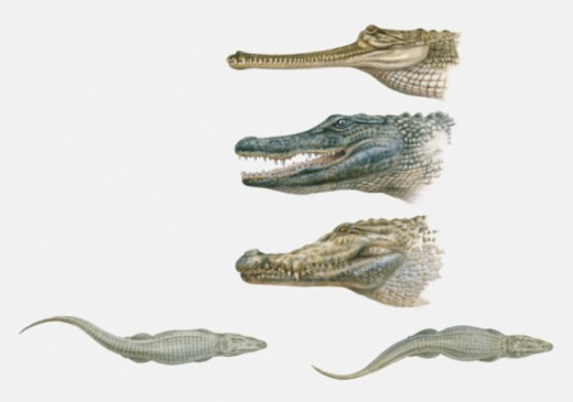 Sequence of illustrations of American Crocodile, Caiman, and Gharial heads, and two crocodiles swimming : Stock Photo