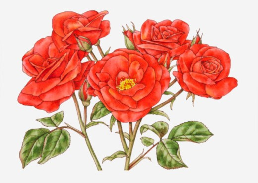 Illustration of Rosa 'Orange Sensation', flowers, buds and green leaves : Stock Photo