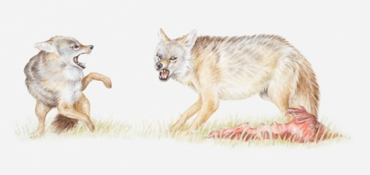 Illustration of Black-backed jackal (Canis mesomelas) with its kill, growling at another jackal : Stock Photo