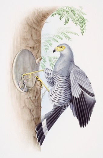 African Harrier Hawk, Polyboroides typus, feeding its young through a hole in a tree. : Stock Photo