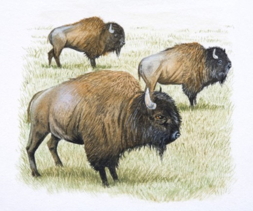 American Bison, Bison biso, side view. : Stock Photo